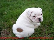 English Bulldogs Puppies Available Now!
